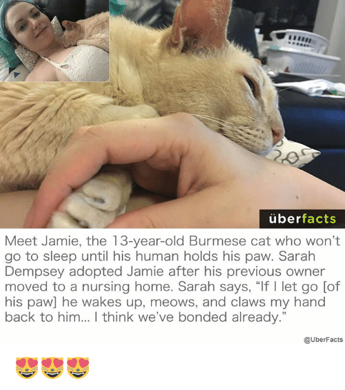 """Memes, 🤖, and Cat: uber  facts  Meet Jamie, the 13-year-old Burmese cat who won't  go to sleep until his human holds his paw. Sarah  Dempsey adopted Jamie after his previous owner  moved to a nursing home. Sarah says, """"If l let go [of  his paw] he wakes up, meows, and claws my hand  back to him... think we've bonded already.""""  @UberFacts 😻😻😻"""