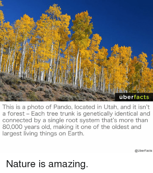 Facts, Memes, and Uber: uber  facts  This is a photo of Pando, located in Utah, and it isn't  a forest Each tree trunk is genetically identical and  connected by a single root system that's more than  80,000 years old, making it one of the oldest and  largest living things on Earth  @UberFacts Nature is amazing.