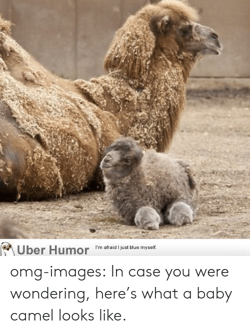 Omg, Tumblr, and Uber: Uber Humor 'm afraid just biue myet omg-images:  In case you were wondering, here's what a baby camel looks like.