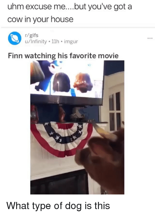 Finn, Memes, and Gifs: uhm excuse me....but you've got a  cow in your house  r/gifs  u/Infinity 11h imgur  Finn watching his favorite movie What type of dog is this