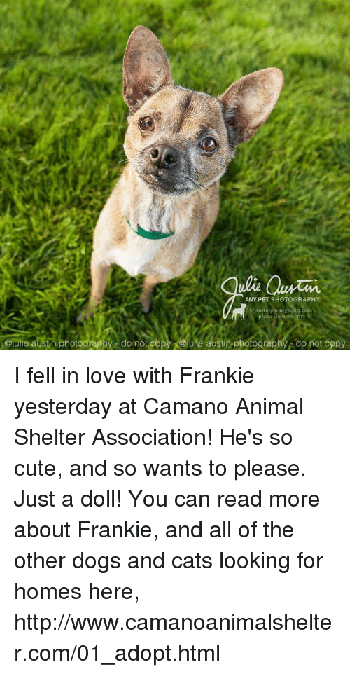 Memes, Animal Shelter, and Photography: ulie Quran.  ANY PET PHOTOGRAPHY  Ojaustinphotography com  please do not copy  Ojulie austin photography do not copy @julie austin photography do not copy I fell in love with Frankie yesterday at Camano Animal Shelter Association!  He's so cute, and so wants to please.  Just a doll! You can read more about Frankie, and all of the other dogs and cats looking for homes here, http://www.camanoanimalshelter.com/01_adopt.html
