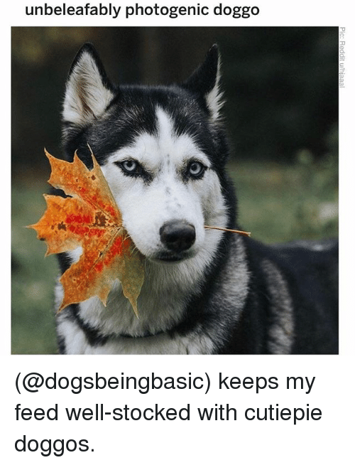 Memes, 🤖, and Doggo: unbeleafably photogenic doggo (@dogsbeingbasic) keeps my feed well-stocked with cutiepie doggos.
