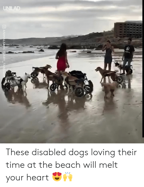 Dank, Dogs, and Beach: UNILAD  ANIMALSANCTUARY TANGIER These disabled dogs loving their time at the beach will melt your heart 😍🙌