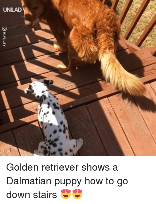 Dank, Golden Retriever, and How To: UNILAD Golden retriever shows a Dalmatian puppy how to go down stairs 😍😍