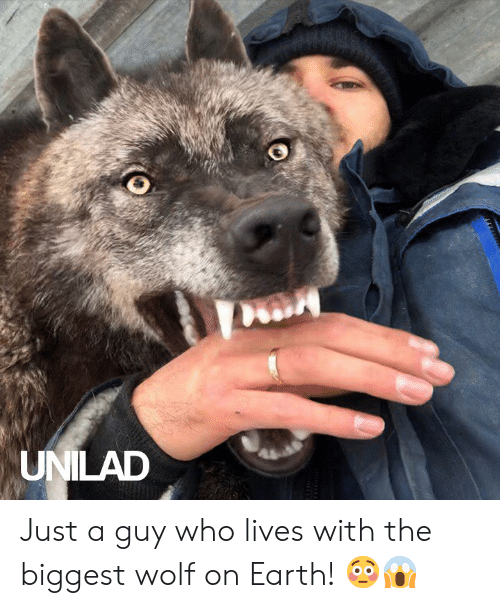 Dank, Earth, and Wolf: UNILAD Just a guy who lives with the biggest wolf on Earth! 😳😱
