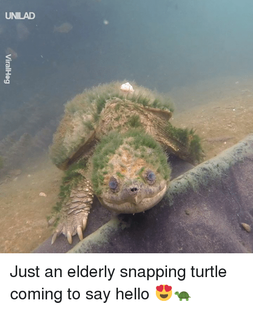 Dank, Hello, and Turtle: UNILAD Just an elderly snapping turtle coming to say hello 😍🐢