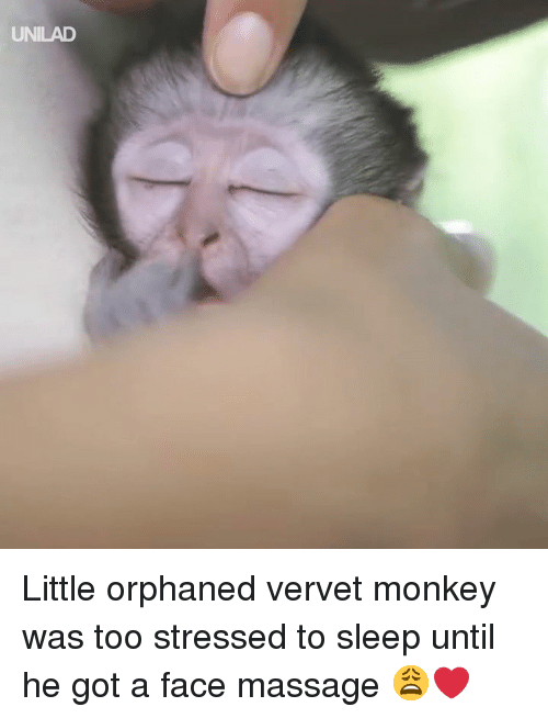 Dank, Massage, and Monkey: UNILAD Little orphaned vervet monkey was too stressed to sleep until he got a face massage 😩❤️️