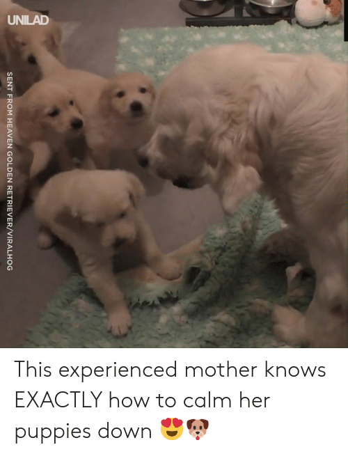Dank, Heaven, and Puppies: UNILAD  SENT FROM HEAVEN GOLDEN RETRIEVER/VIRALHOG This experienced mother knows EXACTLY how to calm her puppies down 😍🐶