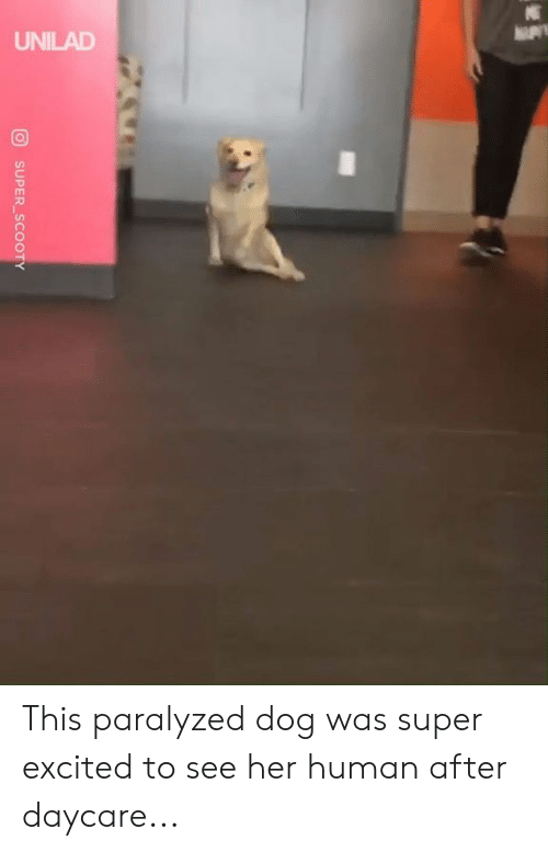Dank, 🤖, and Her: UNILAD  SUPER SCOOTY This paralyzed dog was super excited to see her human after daycare...