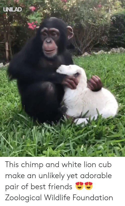 Dank, Friends, and Best: UNILAD This chimp and white lion cub make an unlikely yet adorable pair of best friends 😍😍  Zoological Wildlife Foundation