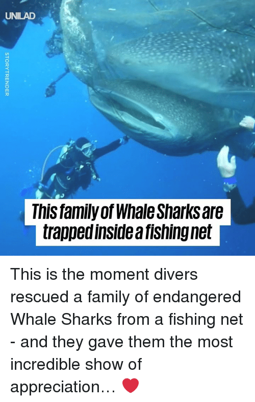 Dank, Family, and Sharks: UNILAD  This family ofWhale Sharks are  trapped inside a fishing net This is the moment divers rescued a family of endangered Whale Sharks from a fishing net - and they gave them the most incredible show of appreciation… ❤️️