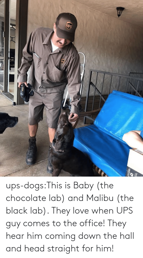 Dogs, Head, and Love: ups-dogs:This is Baby (the chocolate lab) and Malibu (the black lab). They love when UPS guy comes to the office! They hear him coming down the hall and head straight for him!