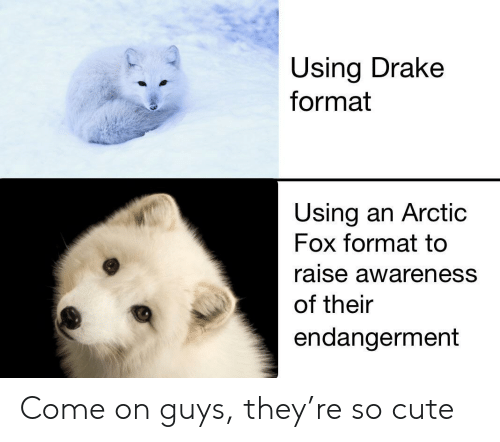 Cute, Drake, and Fox: Using Drake  format  Using an Arctic  Fox format tc  raise awareness  of their  endangerment Come on guys, they're so cute