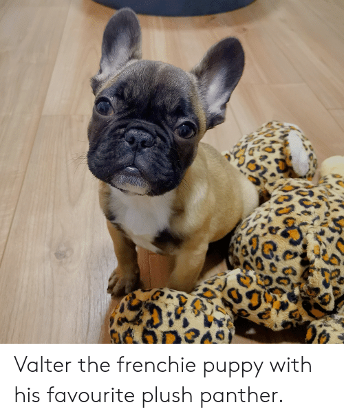 Valter The Frenchie Puppy With His Favourite Plush Panther Puppy
