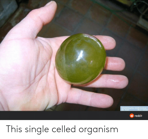Reddit, Single, and Pie: Ventricaria ventricosa  ID: 2117  Pie#: 37257  6 reddit This single celled organism