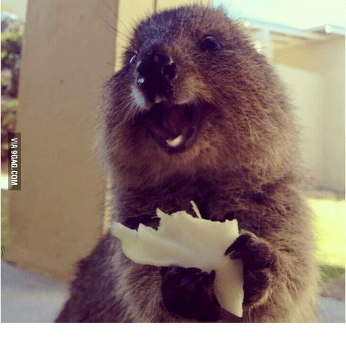 Via 9gagcom quokka gif meme on me quokka gif via 9gag gumiabroncs Choice Image
