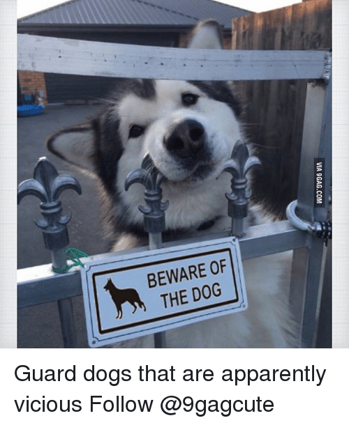 9gag, Apparently, and Dogs: VIA 9GAG.COM Guard dogs that are apparently vicious Follow @9gagcute