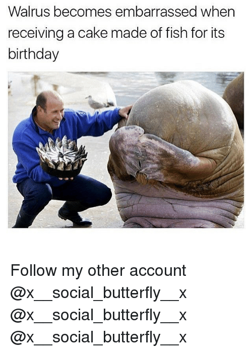 Birthday, Memes, and Butterfly: Walrus becomes embarrassed when  receiving a cake made of fish for its  birthday Follow my other account @x__social_butterfly__x @x__social_butterfly__x @x__social_butterfly__x