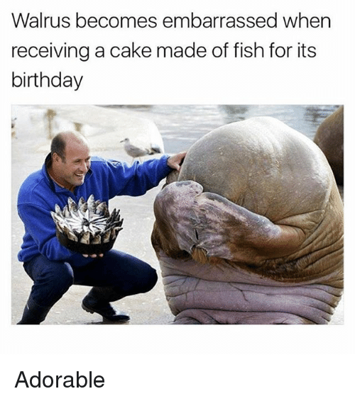 Birthday, Funny, and Cake: Walrus becomes embarrassed when  receiving a cake made of fish for its  birthday Adorable