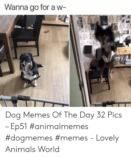 Animals, Memes, and World: Wanna go for a w- Dog Memes Of The Day 32 Pics – Ep51 #animalmemes #dogmemes #memes - Lovely Animals World