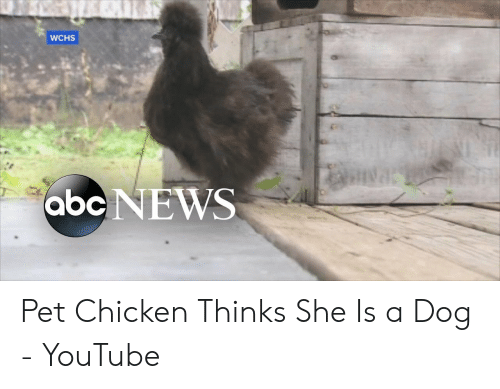 WCHS Abc NEWS Pet Chicken Thinks She Is a Dog - YouTube | ABC Meme