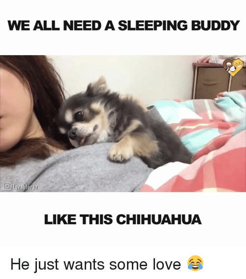 Chihuahua, Love, and Memes: WE ALL NEED A SLEEPING BUDDY  lovable raz  LIKE THIS CHIHUAHUA He just wants some love 😂