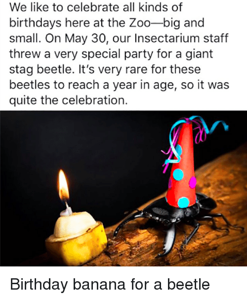 Birthday, Party, and Banana: We like to celebrate all kinds of  birthdays here at the Zoo-big and  small. On May 30, our Insectarium staff  threw a very special party for a giant  stag beetle. It's very rare for these  beetles to reach a year in age, so it was  quite the celebration. Birthday banana for a beetle