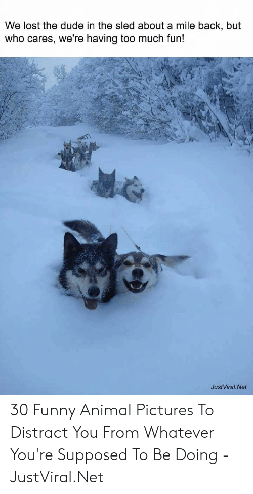 Dude, Funny, and Too Much: We lost the dude in the sled about a mile back, but  who cares, we're having too much fun!  JustViral.Net 30 Funny Animal Pictures To Distract You From Whatever You're Supposed To Be Doing - JustViral.Net