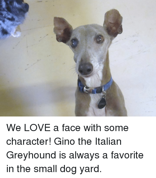 We Love A Face With Some Character Gino The Italian Greyhound Is