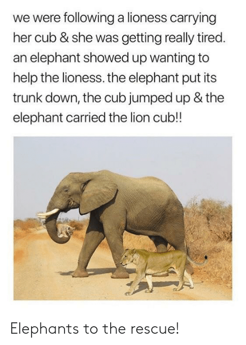 Elephant, Help, and Lion: we were following a lioness carrying  her cub & she was getting really tired  an elephant showed up wanting to  help the lioness. the elephant put its  trunk down, the cub jumped up & the  elephant carried the lion cub!! Elephants to the rescue!