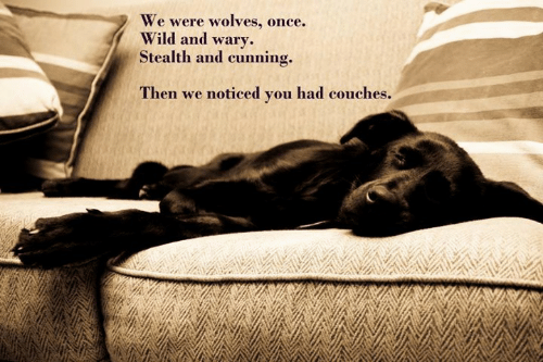 Memes, Wild, and Cunning: We were wolves, once.  Wild and wary.  Stealth and cunning,  Then we noticed you had couches.