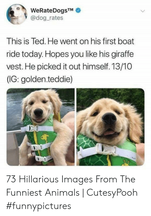 Animals, Ted, and Giraffe: WeRateDogsTM  @dog rates  This is Ted. He went on his first boat  ride today. Hopes you like his giraffe  vest. He picked it out himself. 13/10  (IG: golden.teddie) 73 Hillarious Images From The Funniest Animals | CutesyPooh #funnypictures