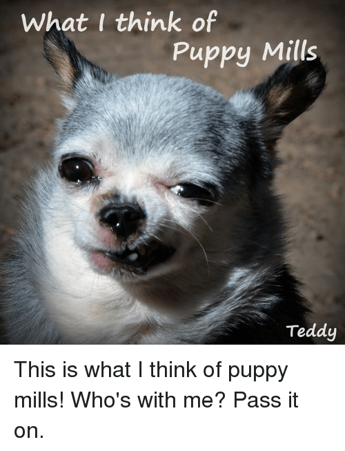 What I Think of Puppy Mills Teddy This Is What I Think of