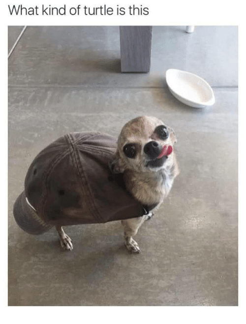Turtle, What, and This: What kind of turtle is this