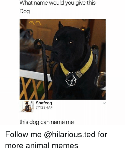 Funny, Memes, and Ted: What name would you give this  Dog  Shafeeq  @Y2SHAF  this doa can name me Follow me @hilarious.ted for more animal memes