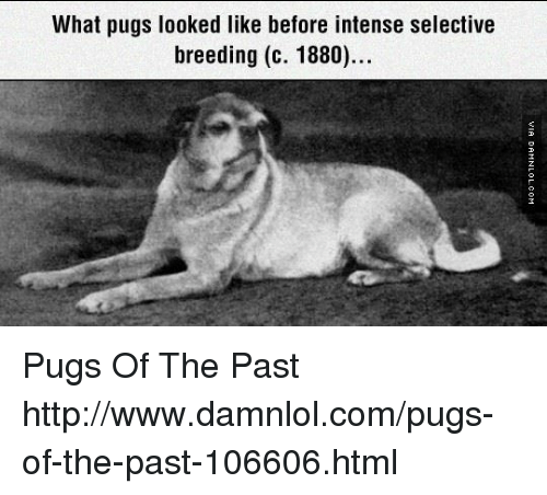 what pugs looked like before intense selective breeding c 1880 pugs of the past