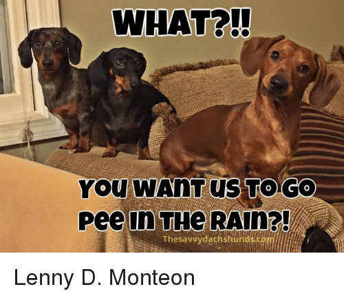 what you wahtus to go pee in the rain the 9600901 what? you wahtus to go pee in the rain?! the savvy dachshund lenny,Dachshund Meme