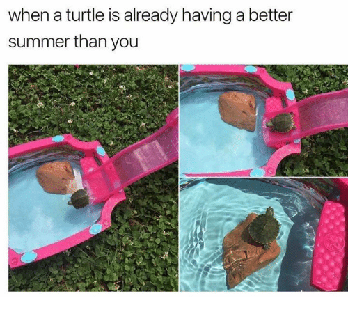 Memes, Summer, and Turtle: when a turtle is already having a better  summer than you