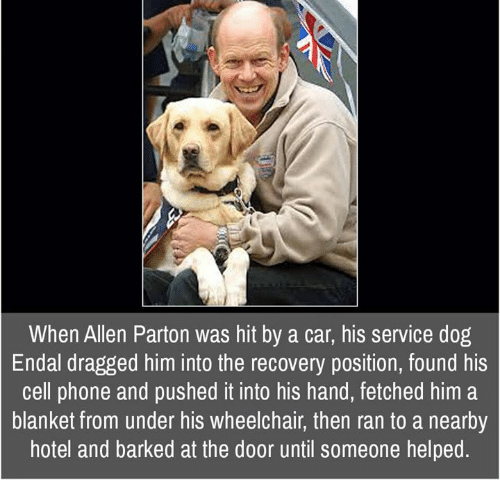 Memes, 🤖, and Cell Phone: When Allen Parton was hit by a car, his service dog  Endal dragged him into the recovery position, found his  cell phone and pushed it into his hand, fetched him a  blanket from under his wheelchair, then ran to a nearby  hotel and barked at the door until someone helped