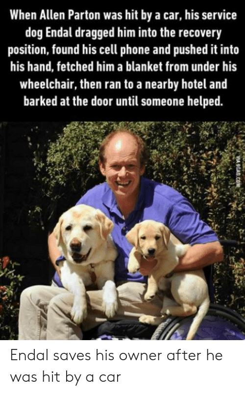 Phone, Hotel, and Dog: When Allen Parton was hit by a car, his service  dog Endal dragged him into the recovery  position, found his cell phone and pushed it into  his hand, fetched him a blanket from under his  wheelchair, then ran to a nearby hotel and  barked at the door until someone helped Endal saves his owner after he was hit by a car