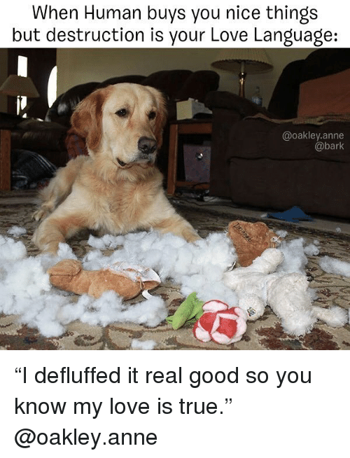 """Love, Memes, and True: When Human buys you nice things  but destruction is your Love Language:  @oakley.anne  @bark """"I defluffed it real good so you know my love is true."""" @oakley.anne"""