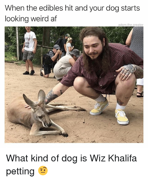 Af, Memes, and Weird: When the edibles hit and your dog starts  looking weird af  adam the.creator  0 What kind of dog is Wiz Khalifa petting 🤨