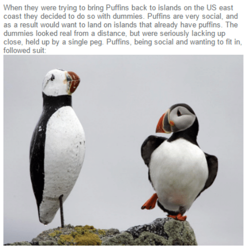 Fitness, Single, and Back: When they were trying to bring Puffins back to islands on the US east  coast they decided to do so with dummies. Puffins are very social, and  as a result would want to land on islands that already have puffins. The  dummies looked real from a distance, but were seriously lacking up  close, held up by a single peg. Puffins, being social and wanting to fit in,  followed suit: