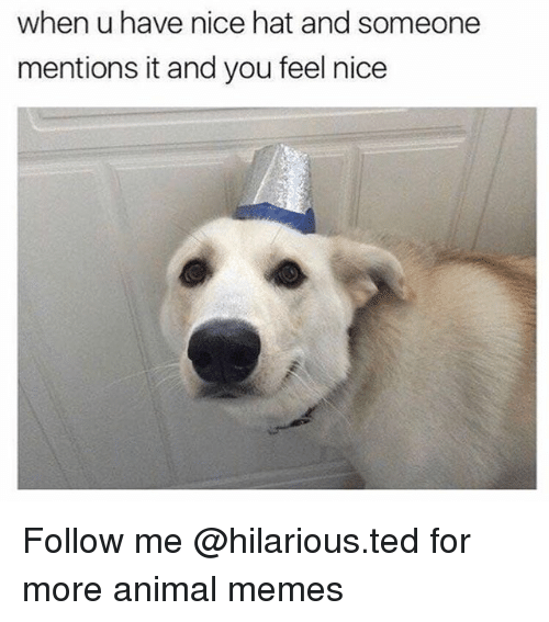 Funny, Memes, and Ted: when u have nice hat and someone  mentions it and you feel nice Follow me @hilarious.ted for more animal memes