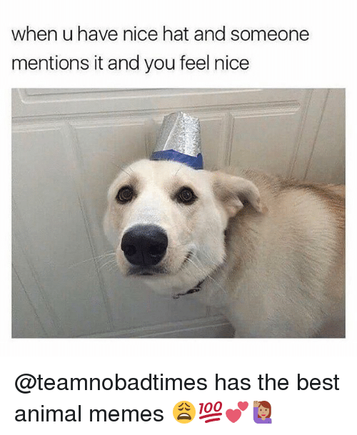 Memes, Animal, and Best: when u have nice hat and someone  mentions it and you feel nice @teamnobadtimes has the best animal memes 😩💯💕🙋🏽‍♀️