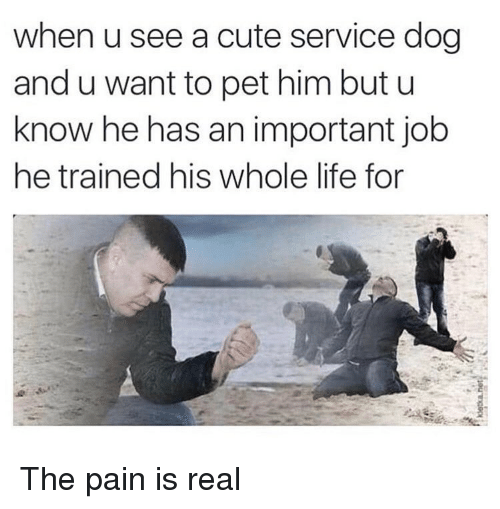 Cute, Life, and Memes: when u see a cute service dog  and u want to pet him but u  know he has an important job  he trained his whole life for The pain is real