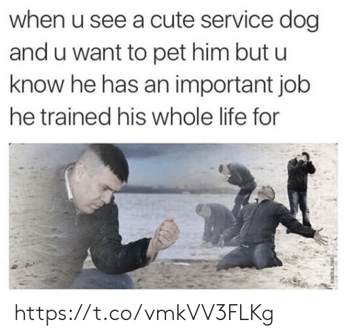 Cute, Life, and Memes: when u see a cute service dog  and u want to pet him but u  know he has an important job  he trained his whole life for https://t.co/vmkVV3FLKg