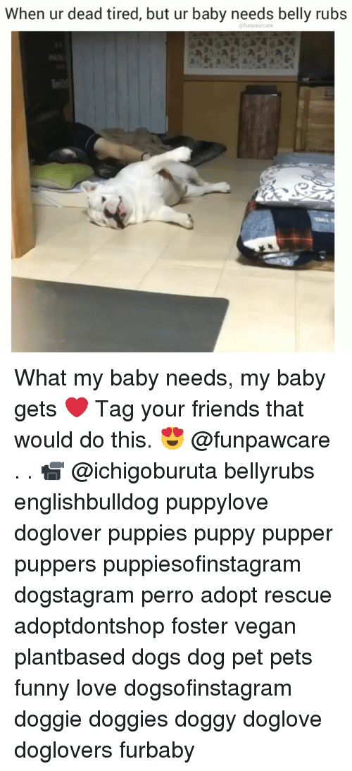 Dogs, Friends, and Funny: When ur dead tired, but ur baby needs belly rubs What my baby needs, my baby gets ❤️ Tag your friends that would do this. 😍 @funpawcare . . 📹 @ichigoburuta bellyrubs englishbulldog puppylove doglover puppies puppy pupper puppers puppiesofinstagram dogstagram perro adopt rescue adoptdontshop foster vegan plantbased dogs dog pet pets funny love dogsofinstagram doggie doggies doggy doglove doglovers furbaby