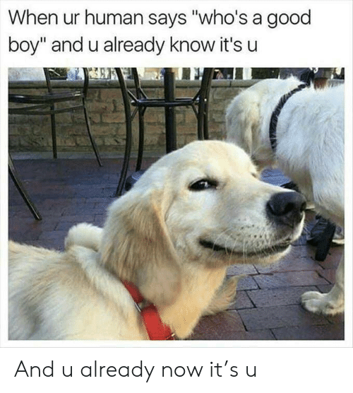 """Good, Boy, and Human: When ur human says """"who's a good  boy"""" and u already know it's u And u already now it's u"""