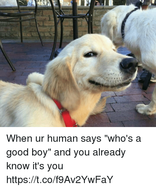 "Good, Girl Memes, and Boy: When ur human says ""who's a good boy"" and you already know it's you https://t.co/f9Av2YwFaY"